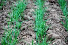 На Чернігівщині посіви озимини вже кілька разів виходили зі стану спокою, - фермер