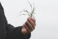 На Житомирщині до 7% озимих зернових уражені септоріозом