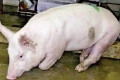 За хронічної форми бешихи гине кілька відсотків свиней