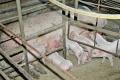 Свиней часто уражує змішана інфекція, зумовлена збудниками кокцидіозу і клостридіями