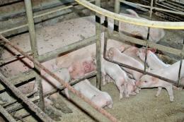 Який оптимальний розмір і конструкція станка для свиноматки