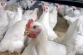 Сальмонельоз контролюють, вакцинуючи птицю інактивованими або живими вакцинами