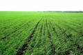 Після яких попередників озима пшениця більш забезпечена елементами живлення, – досвід