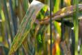 Сходи озимої пшениці треба перевіряти на наявність симптомів септоріоза