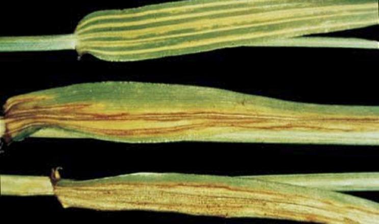 Одним із джерел смугастої плямистості ячменю є насіння