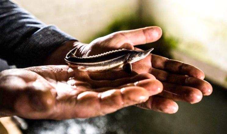 Львівське рибне господарство планує виробляти чорну ікру