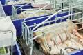 Як не допустити травмування свиней у станках