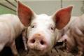 В агрофірмі «Маяк» підвищили добові прирости свиней завдяки власному комбікормовому виробництву