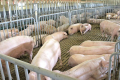 Особливості годівлі супоросної свиноматки