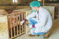 Вакцина проти АЧС, розроблена в Китаї, у клінічних випробуваннях демонструє перспективність
