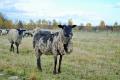 На Хмельниччині розвивають вівчарство