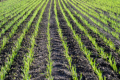 Захистити озимі зернові культури від злакових мух варто у період сходів і кущення