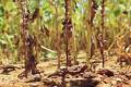 Кількість рас заразихи соняшникової зросла утричі за останні роки
