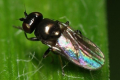 Злакова муха може знищити восени понад 60% сходів озимої пшениці