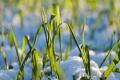 На легких ґрунтах зі слабкою кислотністю поширена гайманоміцетна коренева гниль