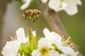 Для захисту бджіл Європа зменшує використання пестицидів