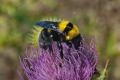 У світі для запилення сільгоспкультур розводять близько 25 видів бджіл і джмелів, в Україні – лише два
