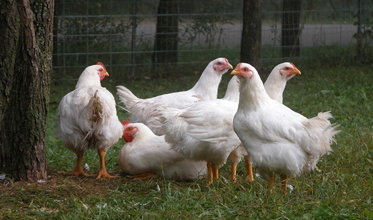 Маркування «альтернативної» курятини Certified та Label Rouge застосовується переважно у Франції