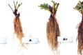 Вітчизняні розсадники суниці зловживають гормонами, — фермер