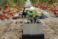 Використання роботів у тепличних господарствах зростає