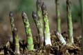 «Бейо Україна» тестує вирощування спаржі з насіння