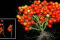 Створено букетні ГМ-томати для вирощування в космосі