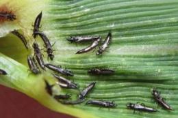 Захист озимини від трипсів ефективний за обробки інсектицидами лише крайових смуг
