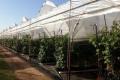 Польські виробники збільшують врожайність ягід завдяки тунелям