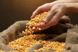 УЗА прогнозує Україні цього року новий рекорд урожаю зернових та олійних