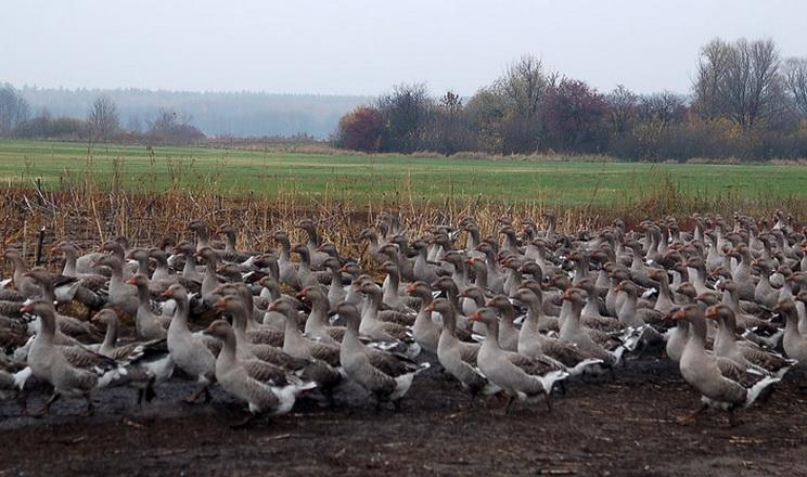 Вирощування племінних гусей окупиться за 1-3 роки