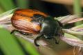 Названо зони, найсприятливіші для розмноження хлібних жуків