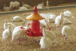 У Великій Британії через грип птиці знищили кілька тисяч індиків