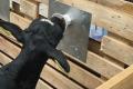 «Терезине» не випоює телят молоком карантійних корів