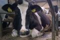 Як діагностувати кетоз у корів