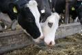 Причиною стеатозу та кетозу у корів є негативний енергетичний баланс організму