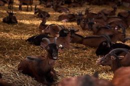 Поголів'я овець і кіз в Україні налічує 1,4 млн голів