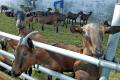 Херсонське господарство у 2020 році планує збільшити поголів'я альпійських кіз до 200 голів