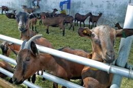 Більше половини експорту українських живих овець і кіз потрапляє до Саудівської Аравії