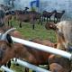 За сім місяців експорт живих овець і кіз зріс у 1,5 раза
