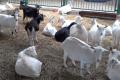 За три квартали в Україні на 6,5% поменшало овець і кіз