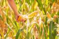 Світовий кукурудзяний ринок «притиснуть» США