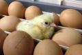 Акустична стимуляція ембріонів забезпечила синхронність вилуплення курчат