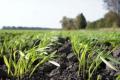 Перезимівля озимих на Буковині проходить у задовільних умовах