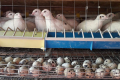 Перепелині яйця можна відбирати за пружною деформацією
