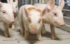 Пробіотик може стимулювати ріст свиней не гірше, ніж антибіотик