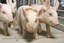Вакцини – найважливіші інструменти в боротьбі проти збудника ензоотичної пневмонії у свиней