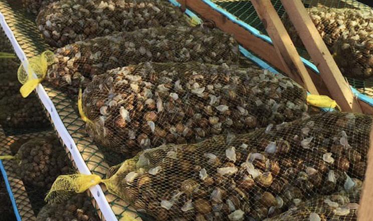 Кількість українських експортерів  равликів до ЄС зросла до 17