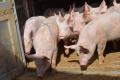 Експорт свиней уже перевищив показник за весь 2018 рік на 19,5%