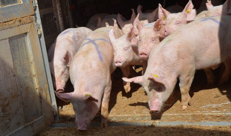 Свинина живою вагою подешевшала на 6,8%