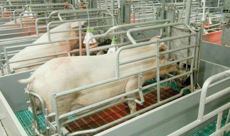 Цитрат хрому коригує у свиней функції щитоподібної та підшлункової залоз